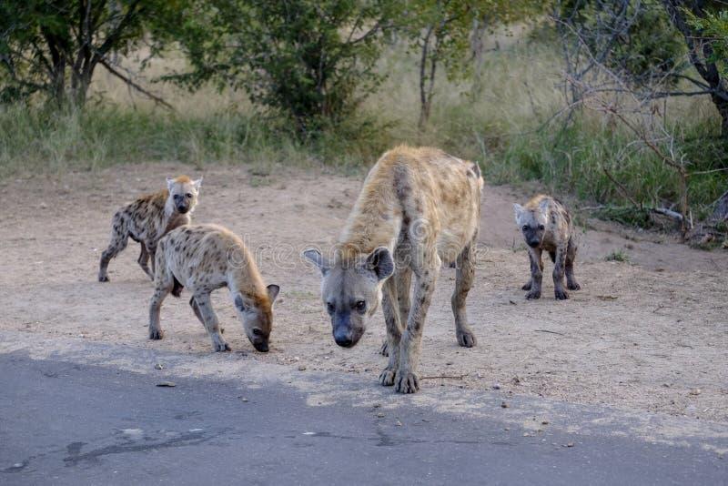 Familie van hyena's en welpen stock foto's