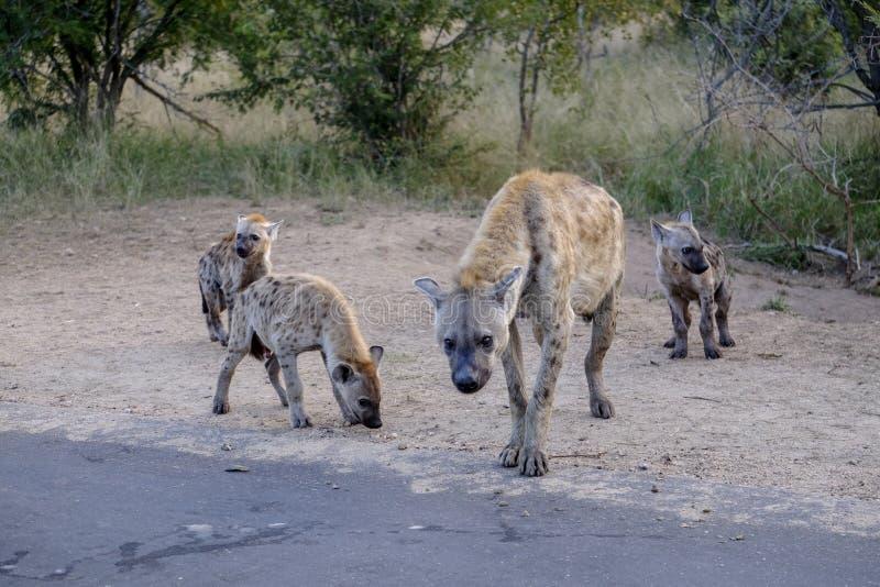 Familie van hyena's en welpen royalty-vrije stock foto's