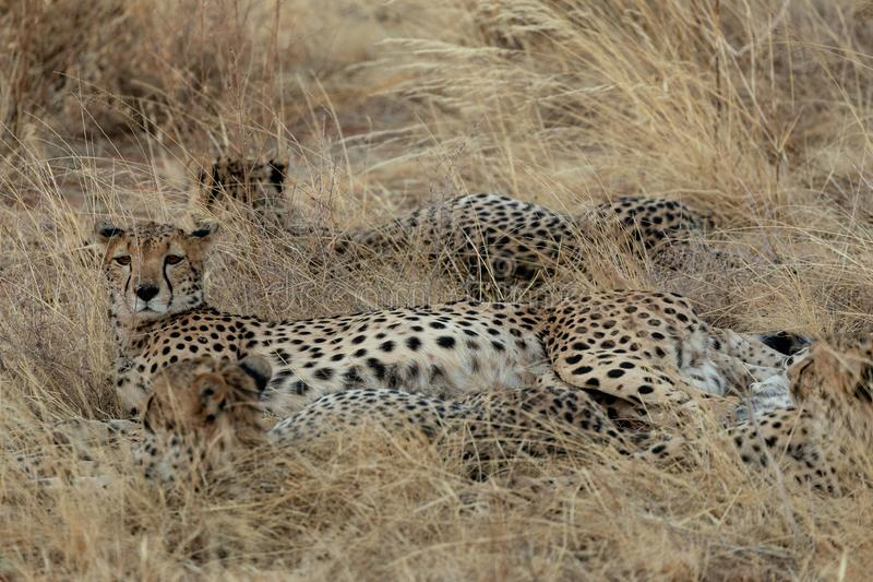 Familie van jachtluipaarden in Masai Mara, Kenia, Afrika royalty-vrije stock afbeeldingen