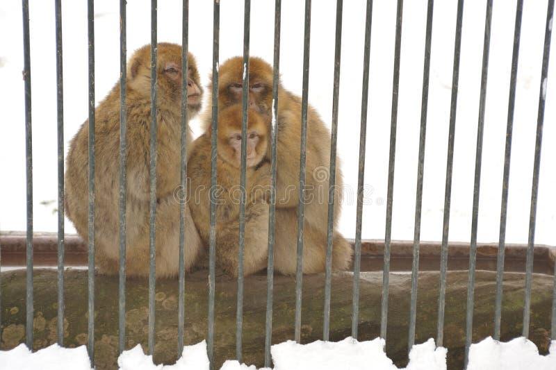 Familie van Japanse macaque stock fotografie