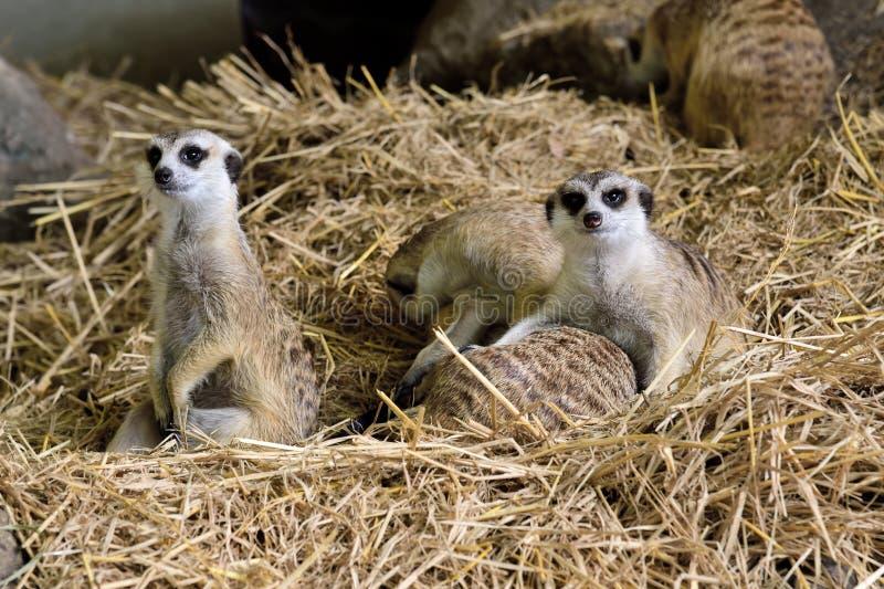 Familie van Meerkats stock foto