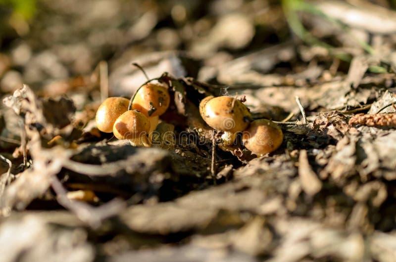 Familie van minipaddestoel in bos stock foto's