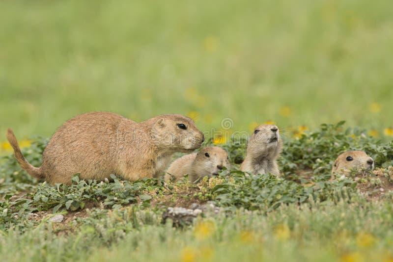 Familie van prairiehonden royalty-vrije stock afbeeldingen