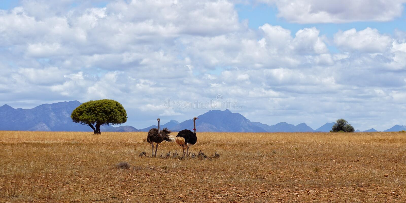 Familie van struisvogels in Afrika stock foto