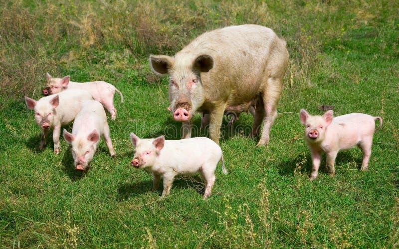 Familie van varkens royalty-vrije stock foto
