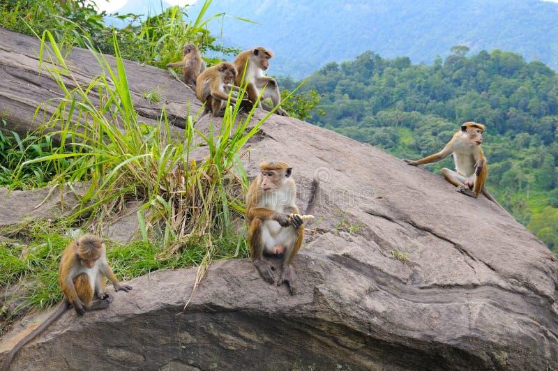 Familie van wilde apen op de richel stock afbeelding