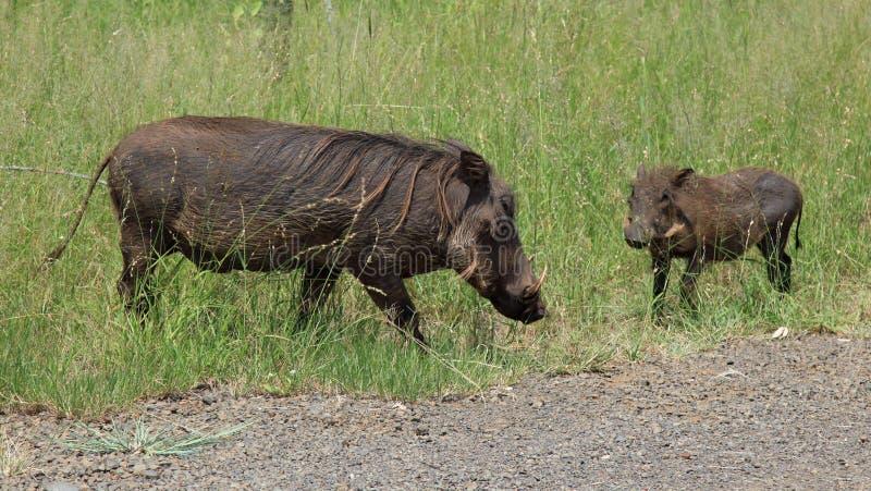 Familie van Wrattenzwijnen royalty-vrije stock foto