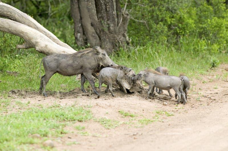 Familie van wrattenzwijnen in Umfolozi-Spelreserve, Zuid-Afrika, in 1897 wordt gevestigd die stock afbeeldingen