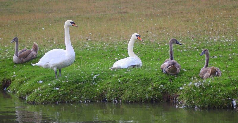 Familie van zwanen aan kant van rivier royalty-vrije stock afbeelding