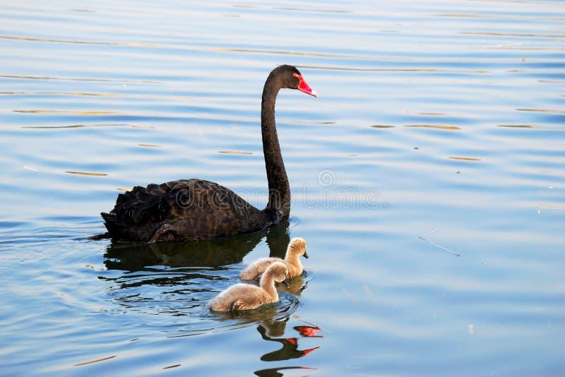 Familie van zwarte zwaan stock afbeeldingen