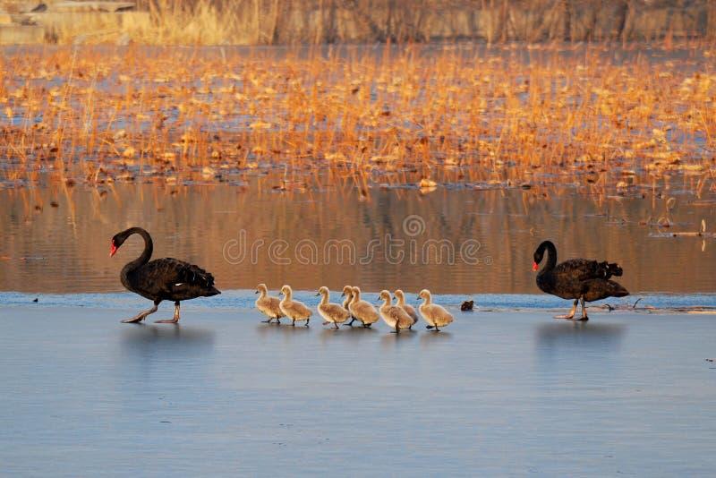 Familie van zwarte zwaan stock foto's