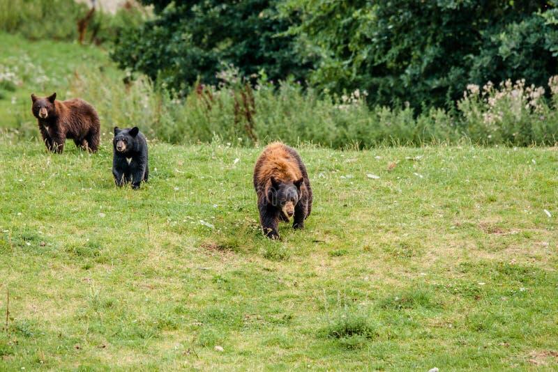Familie von amerikanischen schwarzen Bären lizenzfreie stockfotos