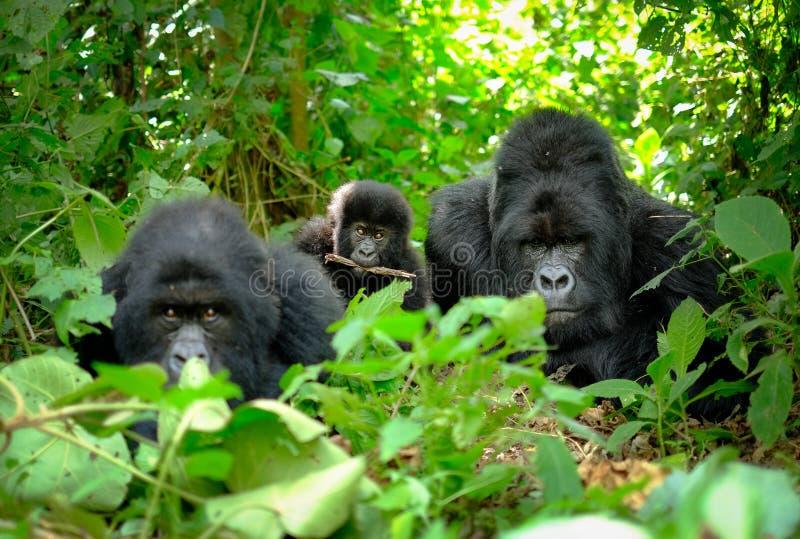 Familie von Berggorillas mit einem Babygorilla und einem Silverback, die für Bild in Ruanda aufwerfen stockfotografie