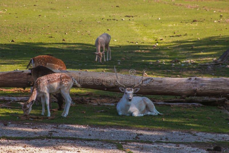 Familie von Damhirschen mit der Herde stockfotos