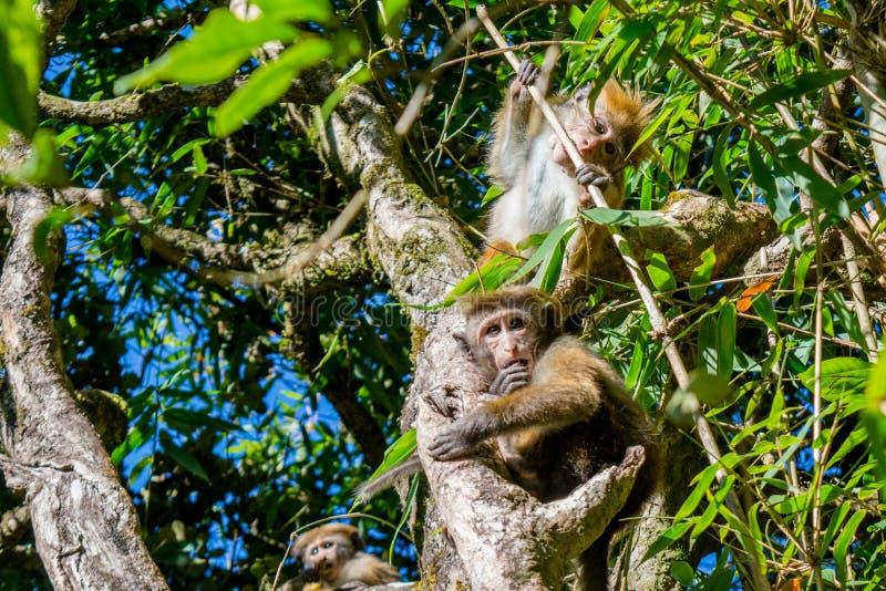 Familie von den Affen, die auf dem Baum sitzen lizenzfreies stockbild