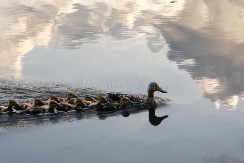 Familie von den Enten, die in den Wolken schwimmen stockfotografie