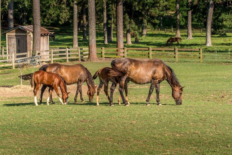 Familie von den Pferden, die zusammen in einem Nord-Georgia-Pferdebauernhof speisen stockbild
