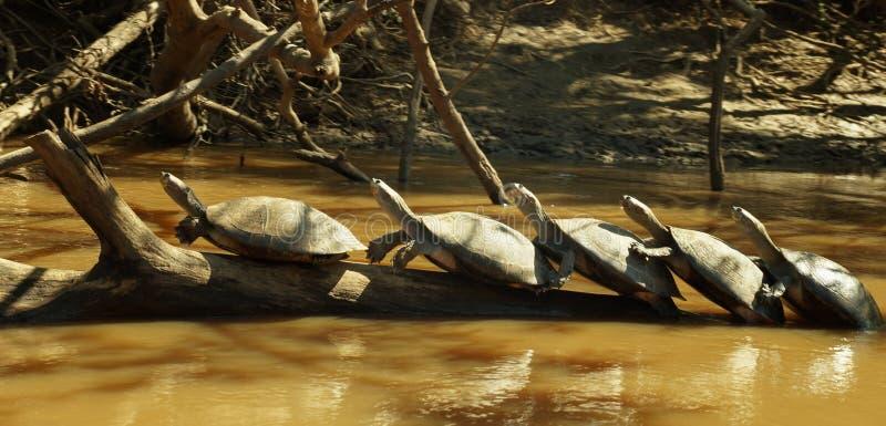 Familie von den Schildkröten, die auf einer Niederlassung im Fluss in Nationalpark Madidi nahe Rurrenabaque, Bolivien sich entspa lizenzfreie stockbilder