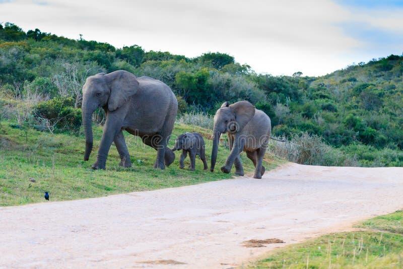 Familie von Elefanten von S?dafrika lizenzfreies stockbild