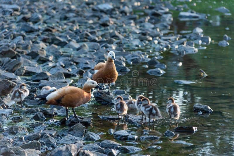 Familie von Enten mit Entlein lizenzfreie stockfotos