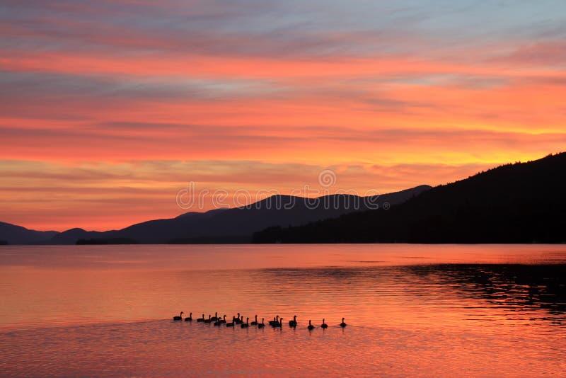 Familie von Enten nimmt Morgen-Schwimmen auf See bei Sonnenaufgang stockfotografie