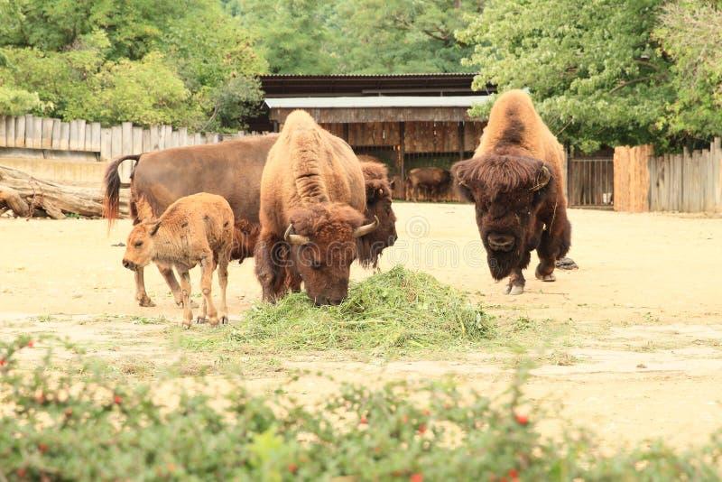 Familie von europäischen Bisonen stockfotos