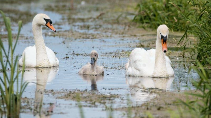 Familie von Höckerschwäne Eltern und Cygnet, die swanling sind stockbild
