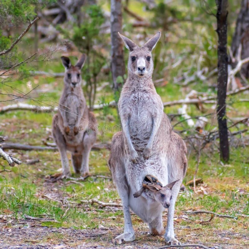 Familie von Kängurus stockfotografie