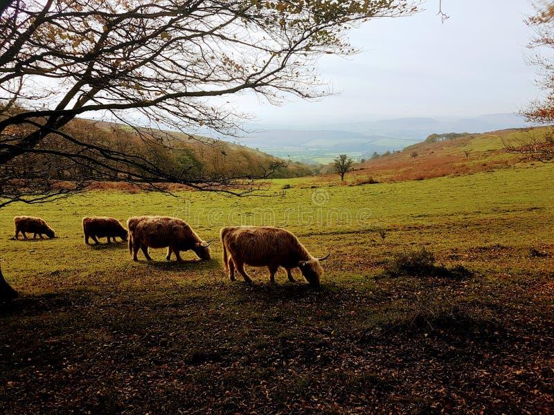 Familie von Kühen auf Abhang lizenzfreie stockfotografie