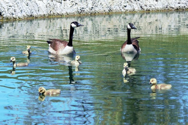 Familie von Kanada-Gänsen stockbild
