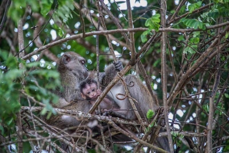 Familie von langschwänzigen Makaken auf Baumast lizenzfreies stockbild
