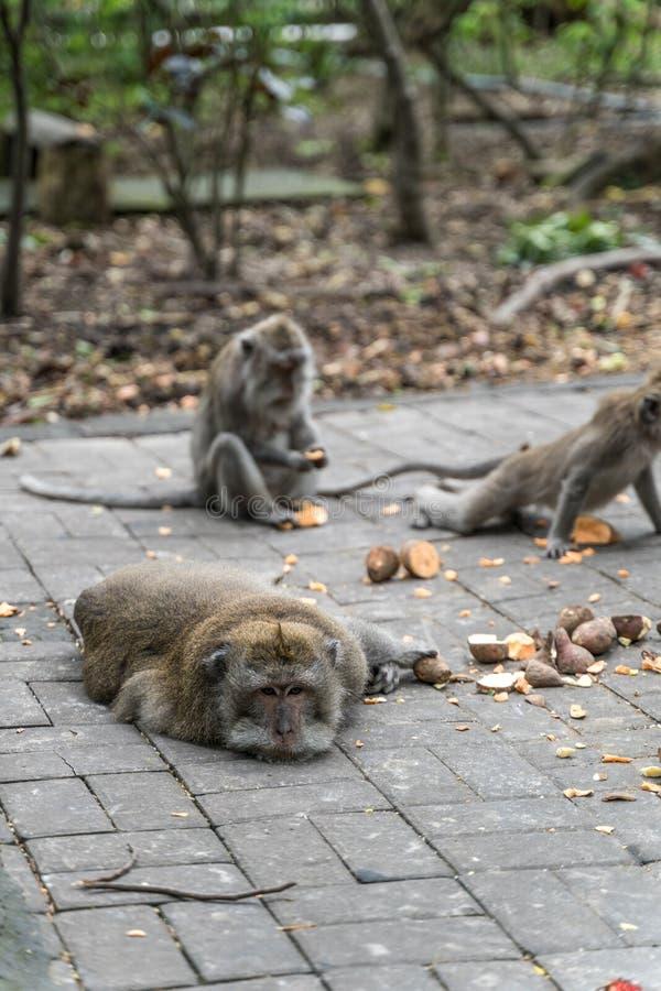 Familie von langschwänzigen Makaken Macaca fascicularis im heiligen Affe-Wald, Ubud, Indonesien lizenzfreie stockfotografie