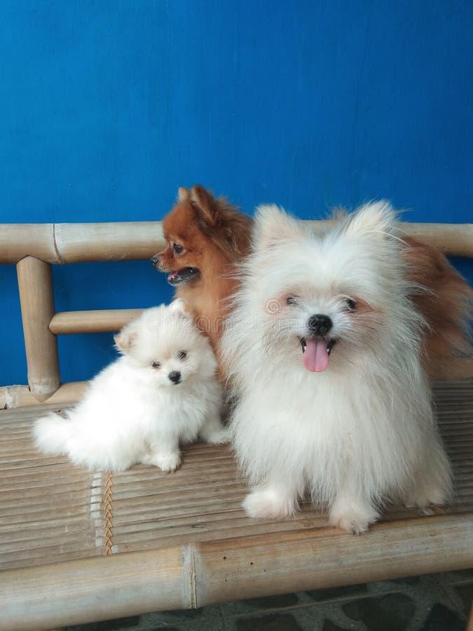 Familie von pomeranian Minihunden lizenzfreies stockbild