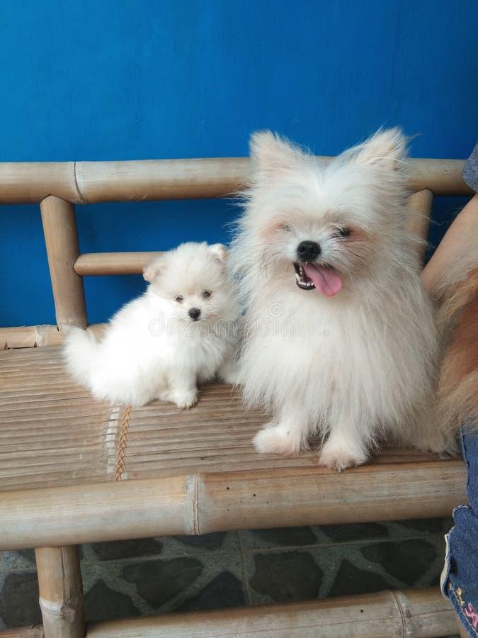 Familie von pomeranian Minihunden lizenzfreie stockfotos