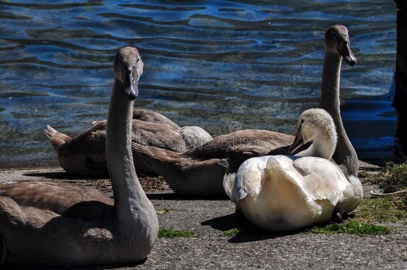 Familie von Schwänen mit vier jungen Siegeln in einem alten Dock an einem Sommertag lizenzfreies stockbild