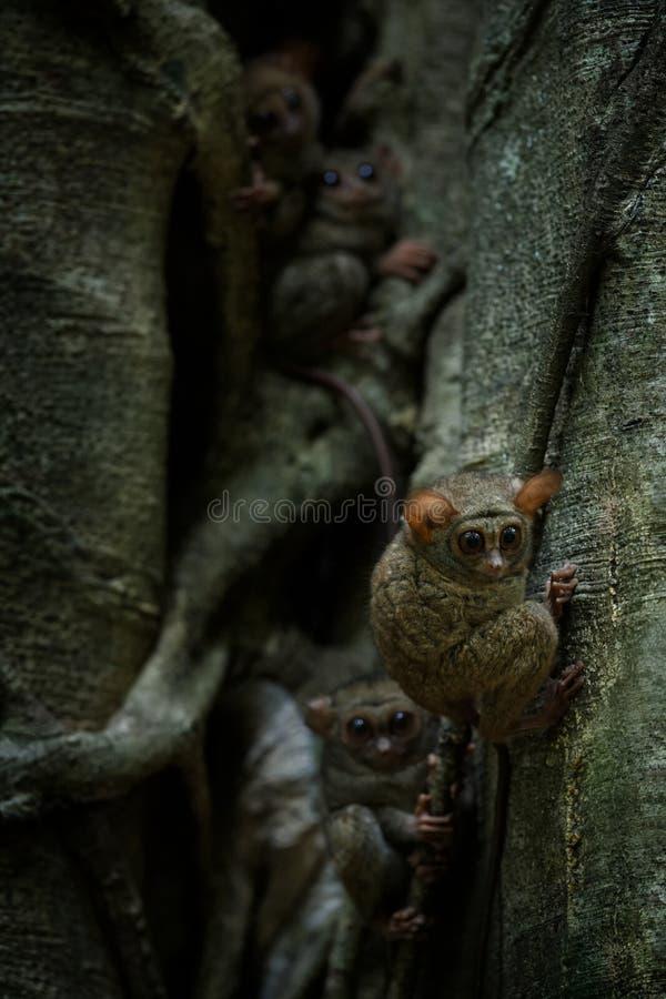 Familie von Spektral-tarsiers, Tarsiusspektrum, Portr?t von seltenen endemischen n?chtlichen S?ugetieren, kleiner netter Primas i stockfotografie