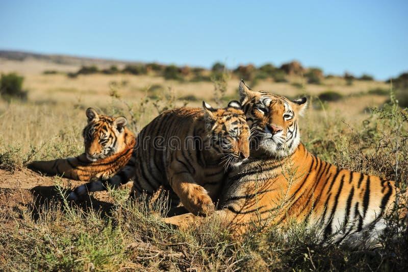 Familie von Tigern stockbilder