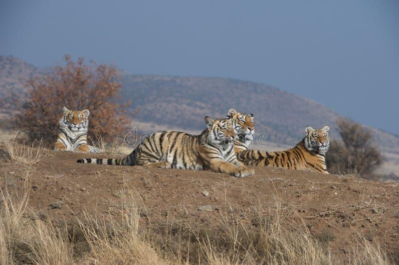 Familie von Tigern lizenzfreies stockfoto
