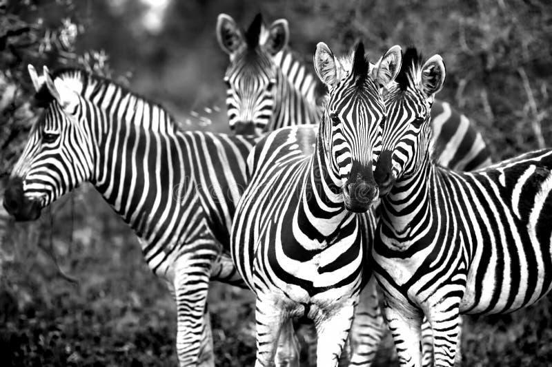 Familie von wilde afrikanische Zebras lizenzfreie stockbilder