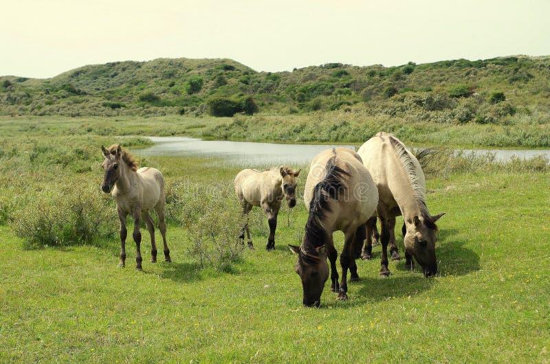 Familie von wilden Pferden in den Niederlanden lizenzfreie stockfotografie