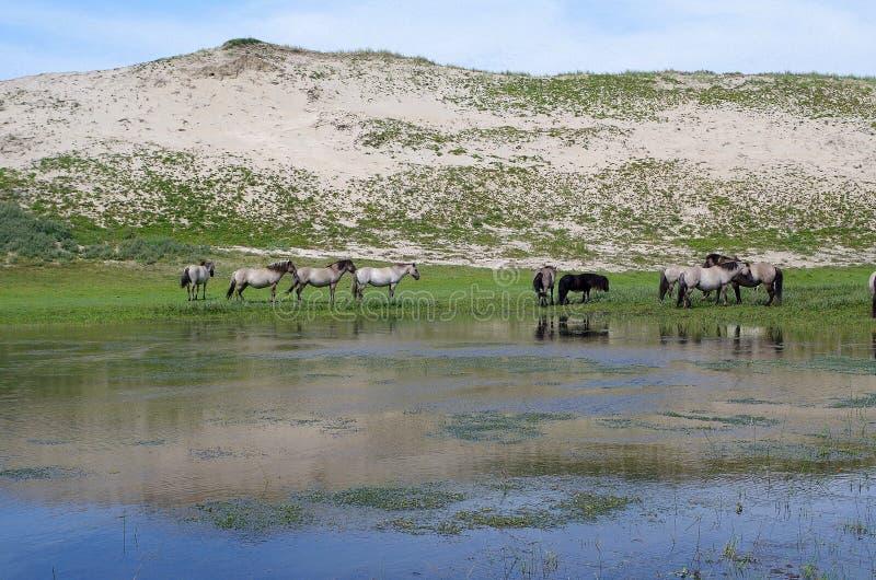 Familie von wilden Pferden in den Niederlanden lizenzfreie stockbilder