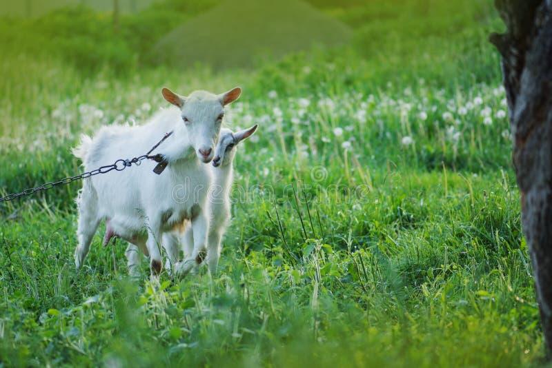 Familiegeiten op een groene weide Kudde van geiten royalty-vrije stock foto