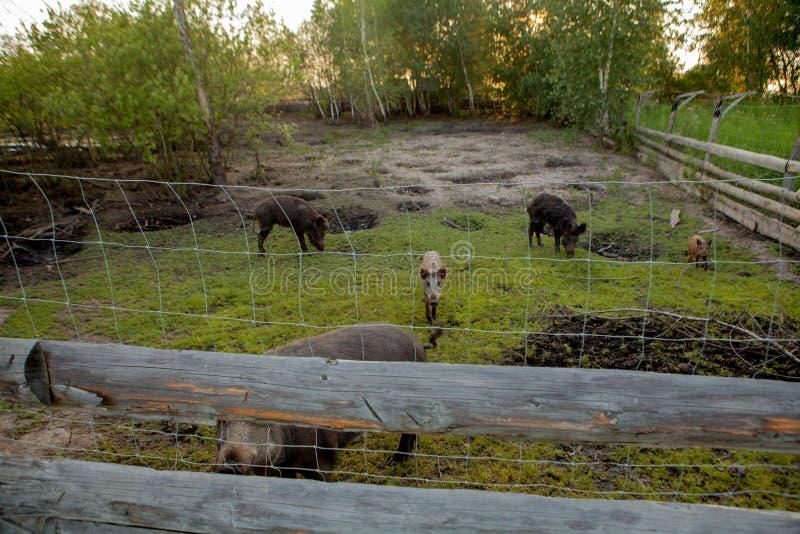 Familiegroep Wart Hogs Grazing Eating Grass-Voedsel samen stock afbeeldingen