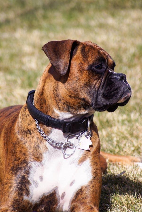 Familienhaustier, ein Boxerhund, der Uhr hält stockbild