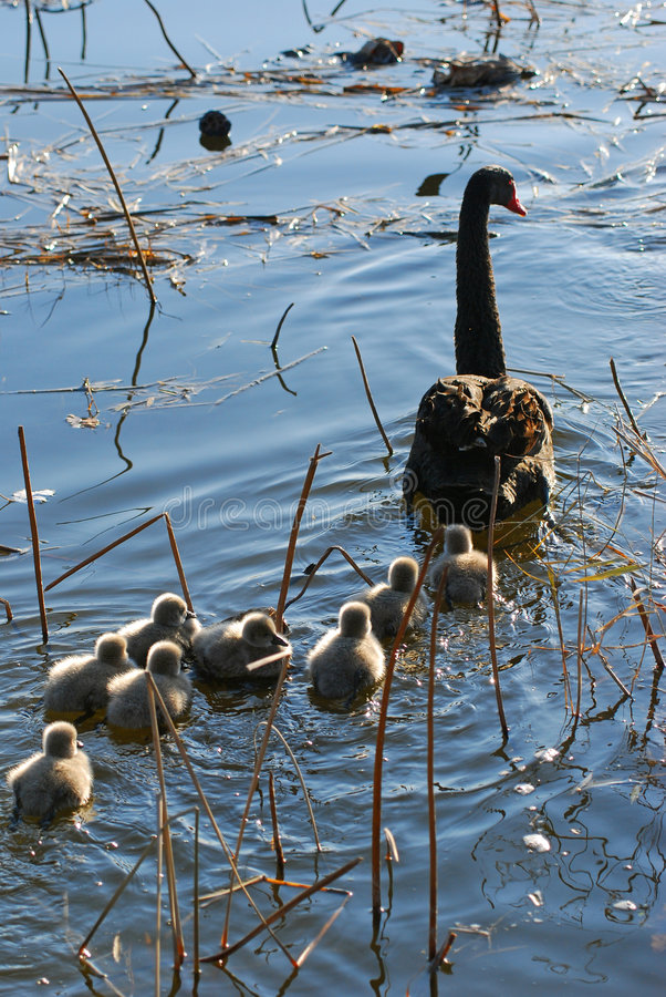 Familienschwan lizenzfreie stockbilder