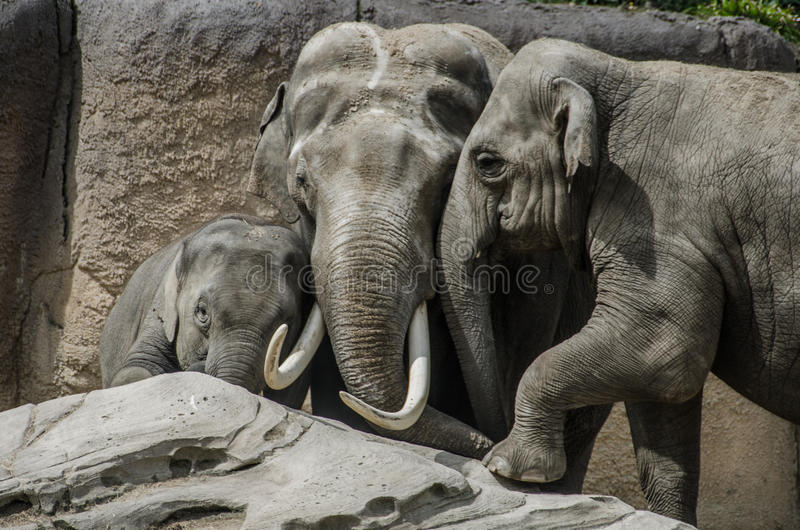 Familieolifant op een rots stock afbeelding