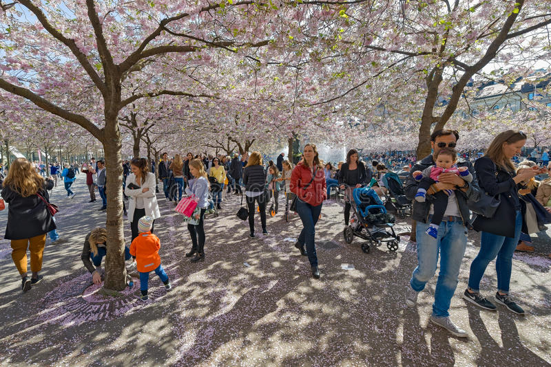 Families strolling around in Kungstradgarden during the pink che royalty free stock photography
