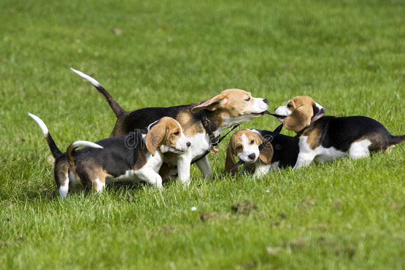 Familiy Spielen des Spürhunds stockfotografie