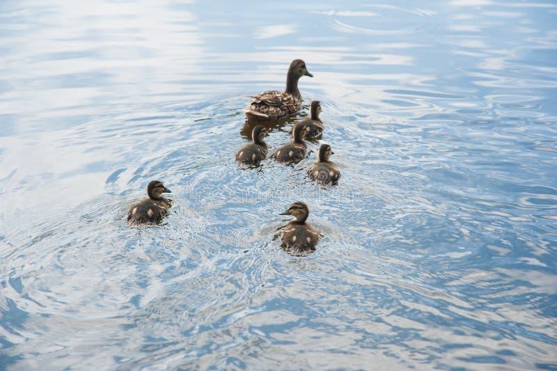 Familj av änder i vattnet arkivfoton