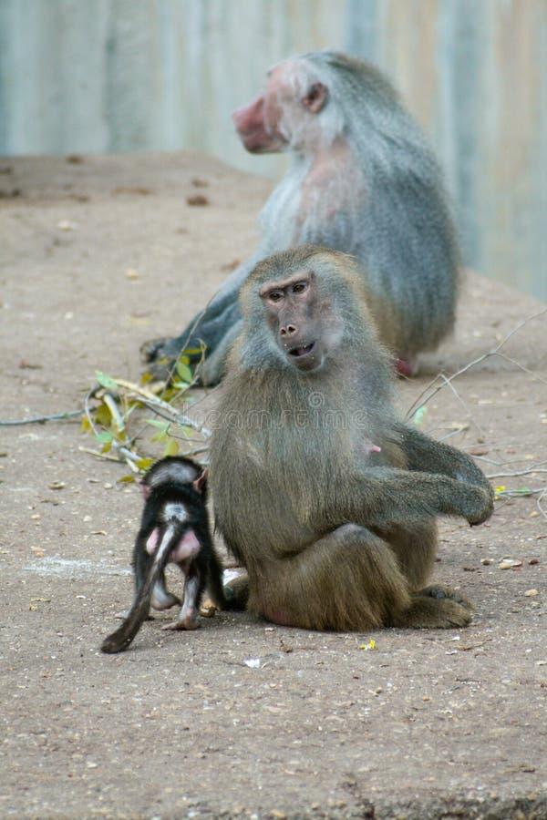 Familj av babianer med kvinnlign och ungt och manligt bakom royaltyfria foton